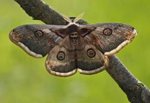 The study confirms the truth behind 'Darwin's moth'