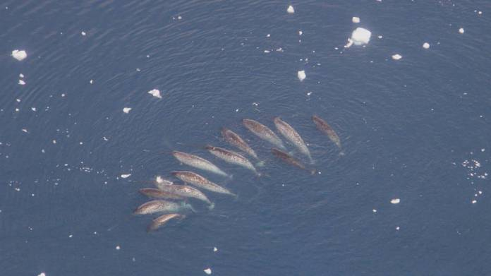 A pod of narwhals, with some tusks visible as white streak