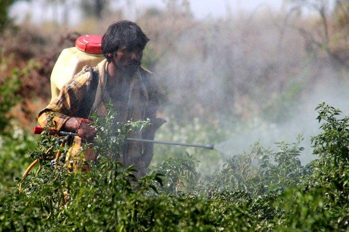 A Telangana farmer spraying pesticide in a field. [Picture: InStem]