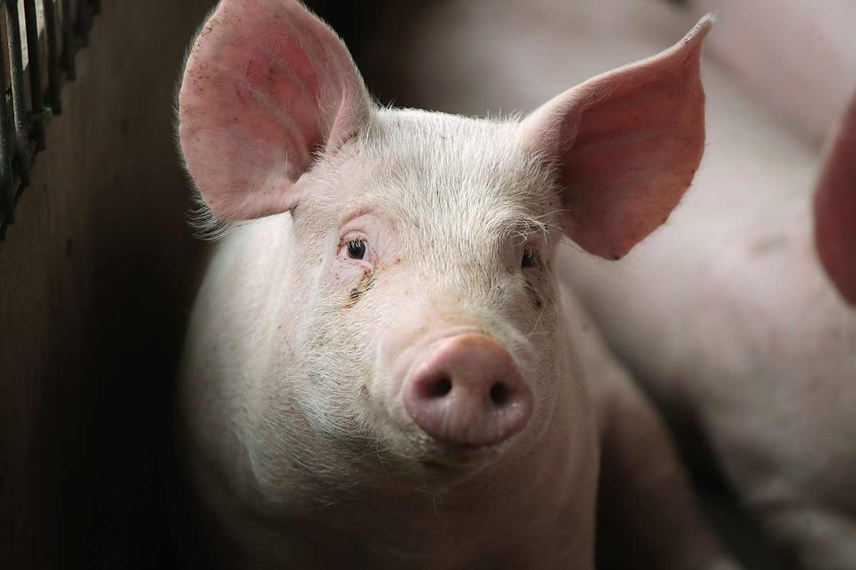 Pig brains kept alive outside body for hours after death