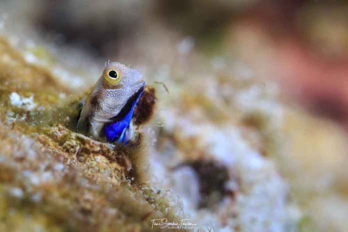 Most bottom-dwelling fish try to avoid predation through hiding or camouflage. This colorful bluebelly blenny fish scans its surroundings with its head sticking out of its hole.Tane Sinclair-Taylor