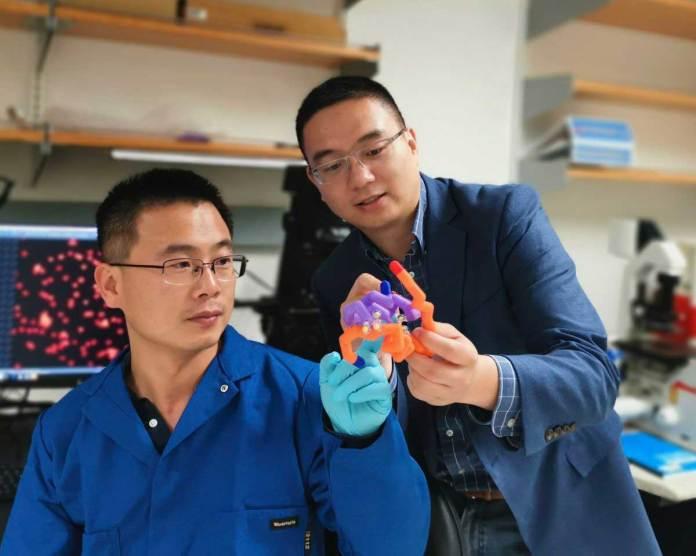 Study authors Jingqiang Wang and Professor Zhen Gu with a model of insulin.