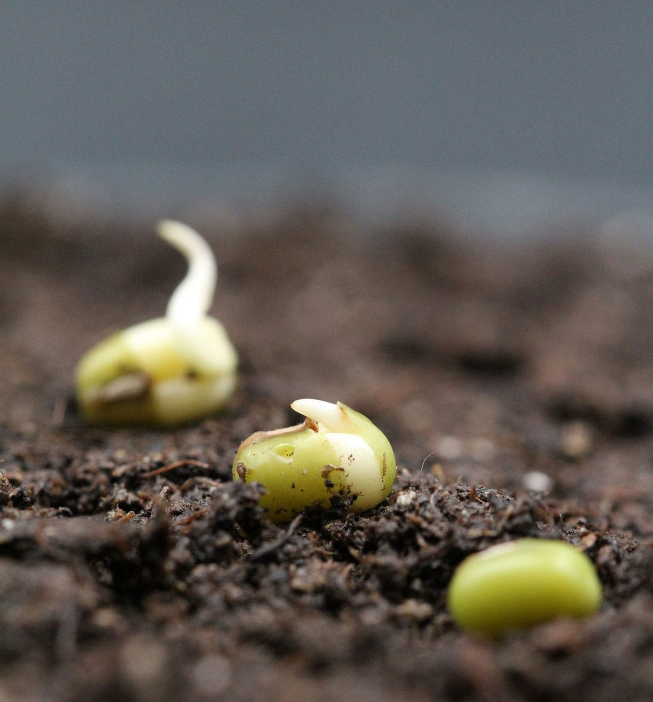 Shedding light on the earliest events of seed germination