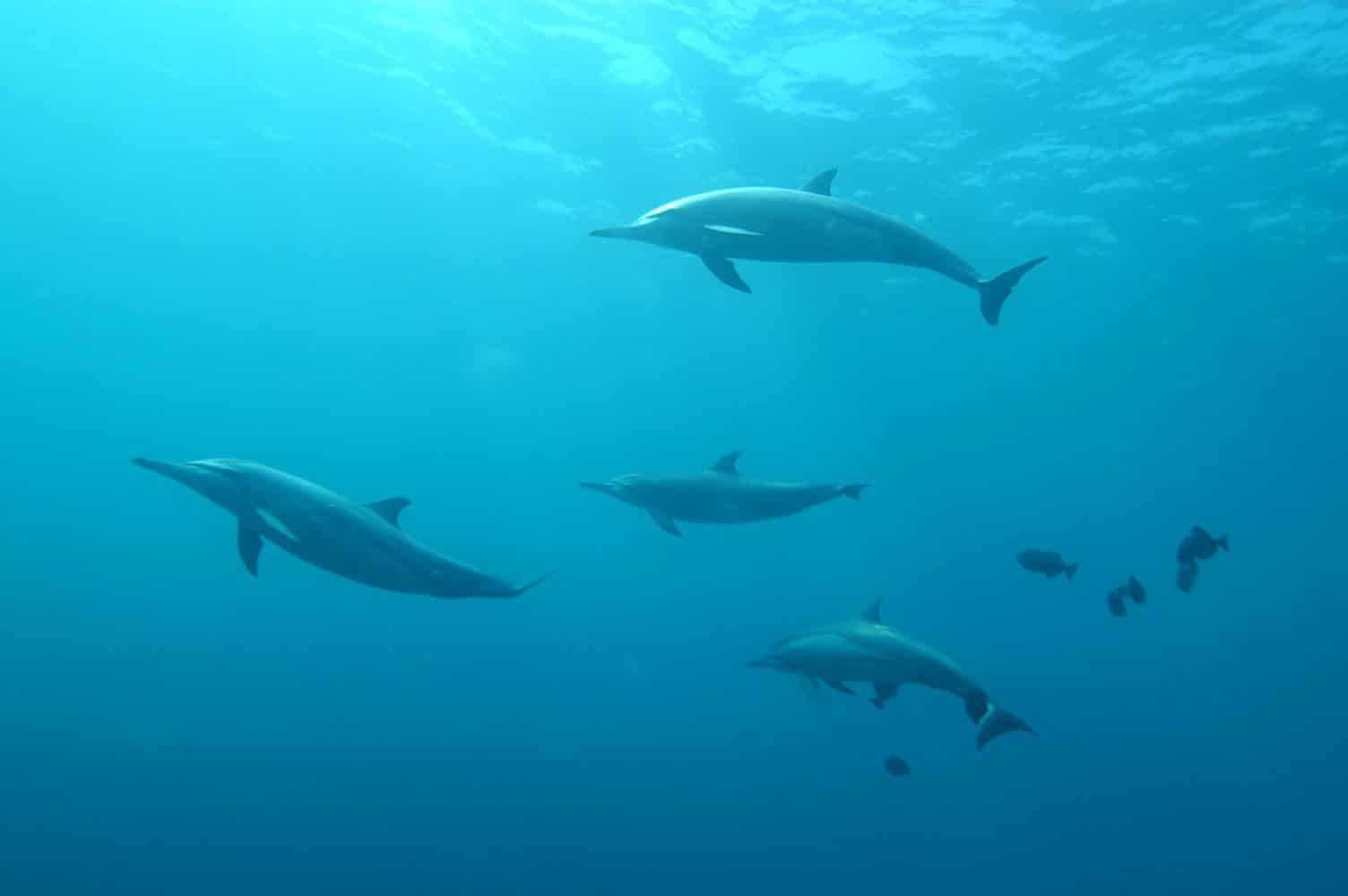 Male dolphins coordinate just like humans