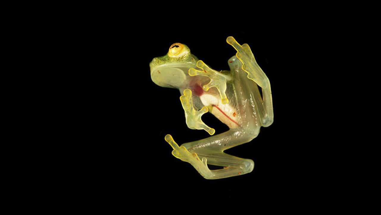 Scientists see-through glass frogs' translucent camouflage