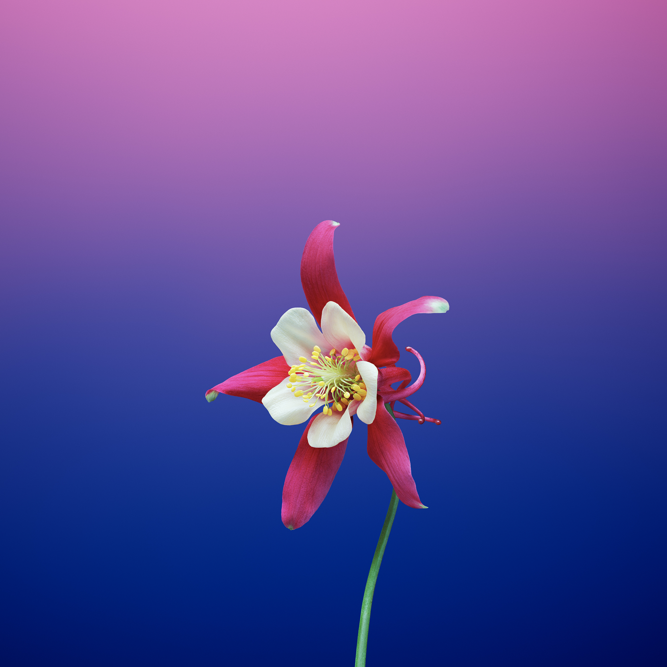Flower_AQUILEGIA - TechFoogle