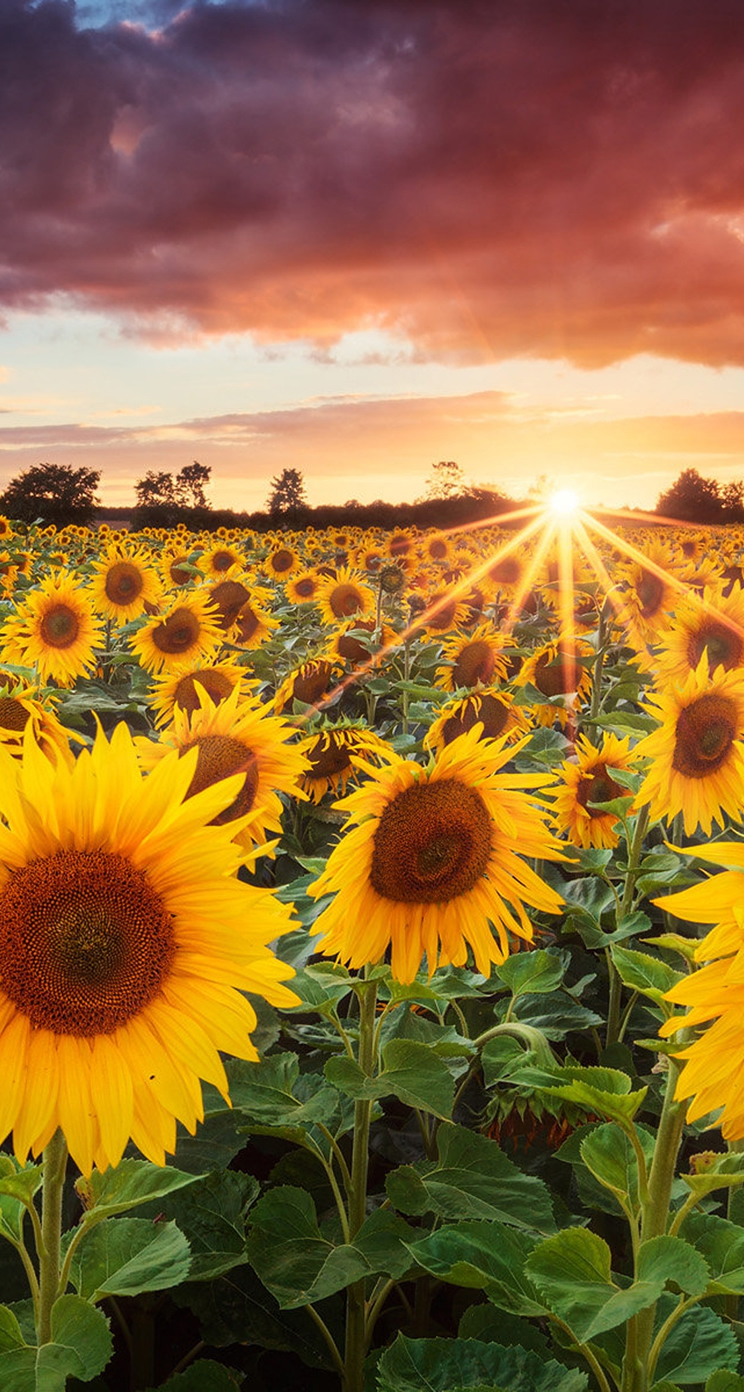 sunflower whatsapp chat wallpaper