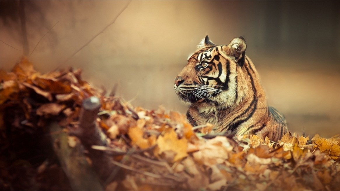 autumn-background-tiger