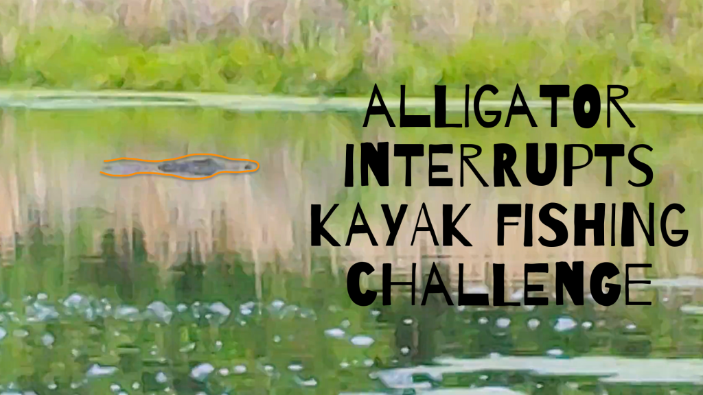 alligator interrupts fishing challenge
