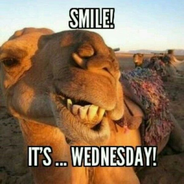 Funny Hump Day Pics with Camel 5