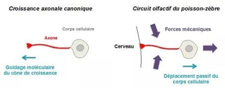 Figure : A gauche, schéma illustrant le mécanisme classique de croissance des axones : l'axone s'allonge grâce à l'activité locomotrice du cône de croissance, en réponse à des signaux moléculaires présents dans l'environnement. A droite, le nouveau mode d'élongation axonale découvert par les chercheurs : l'axone, dont l'extrémité est fixe, ancrée au cerveau, s'allonge par le mouvement passif du corps cellulaire, provoqué par des forces mécaniques externes au neurone.