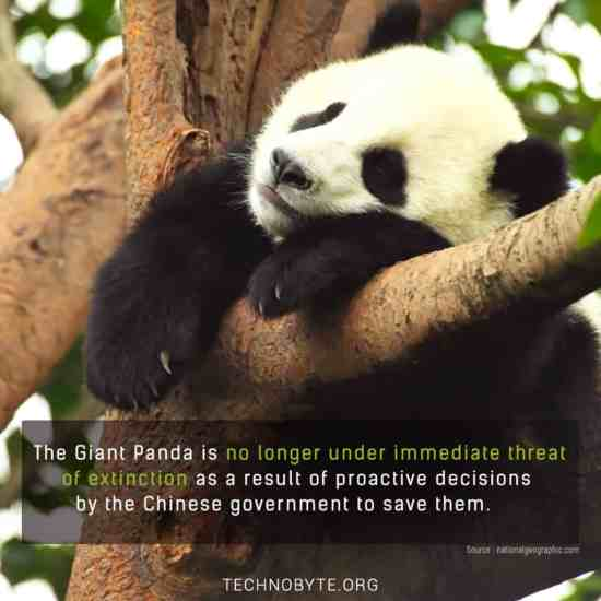 Giant pandas safe from immediate extinction