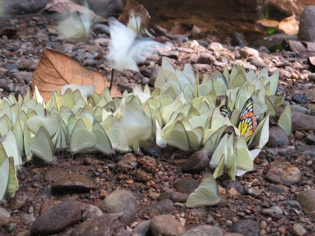 Butterflies mud puddling. It helps them get salts just like drinking tears.