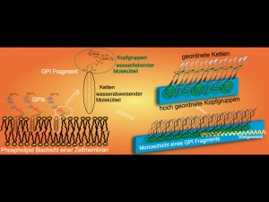 Model of a cell membrane with embedded glycolipids, or more precisely glycosylphosphatidylinositols, GPIs (left), and the formation of a molecular lattice in a monolayer at the water-air boundary (right). © MPI of Colloids and Interfaces