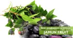 Best production practices for jamun (black plum)