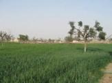 Green Fields in Rajasthan