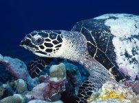 Free download Wallpaper Pack Underwater HD turtle