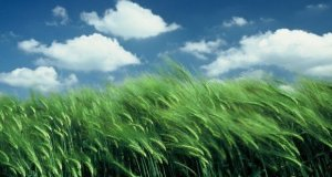 Green Wheat and sky Free Wheat Wallpaper Pack