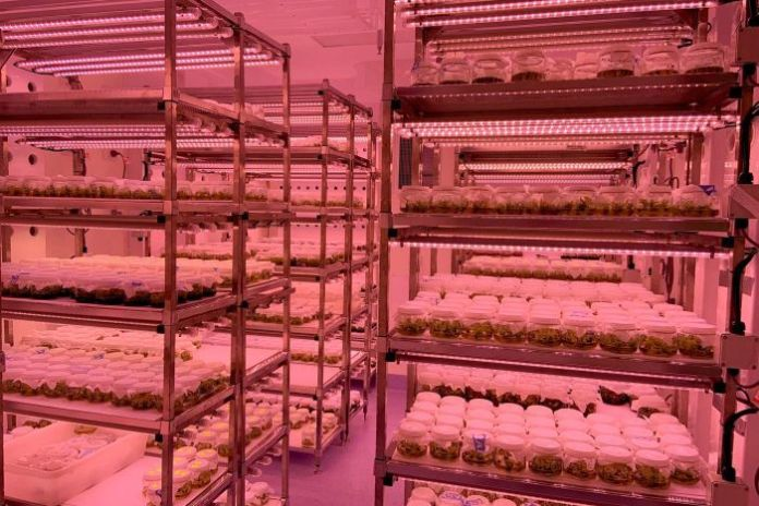 Avocado plants under lights in a laboratory.