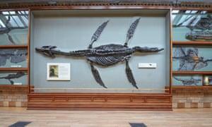 A pliosaur at the Natural History Museum.