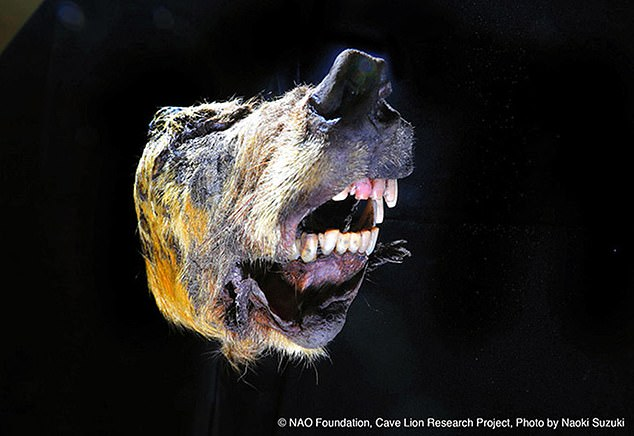 In tact: The animal's razor-sharp teeth also remain in tact, having escaped years of erosion from the elements and interference from predators in the wild region
