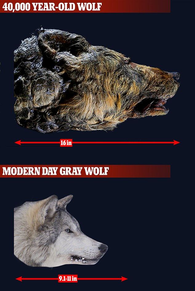 The head of the 40,000-year-old wolf was 16inches long while the head of a modern day Gray wolf is 9.1-11 inches long