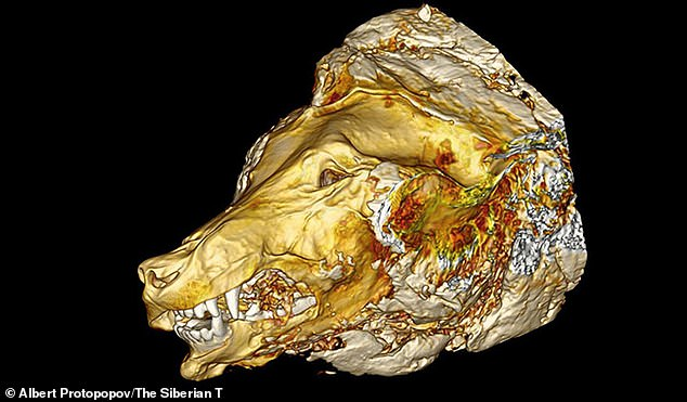In detail: A CT scan of the wolf's head shows exactly how much of it was preserved in the freezing temperatures of Siberia, after it laid there for approximately 40,000 years