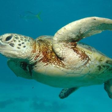 see turtle