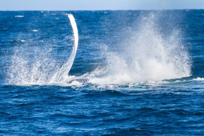 Tecla spots Humpback Whales close to the ship