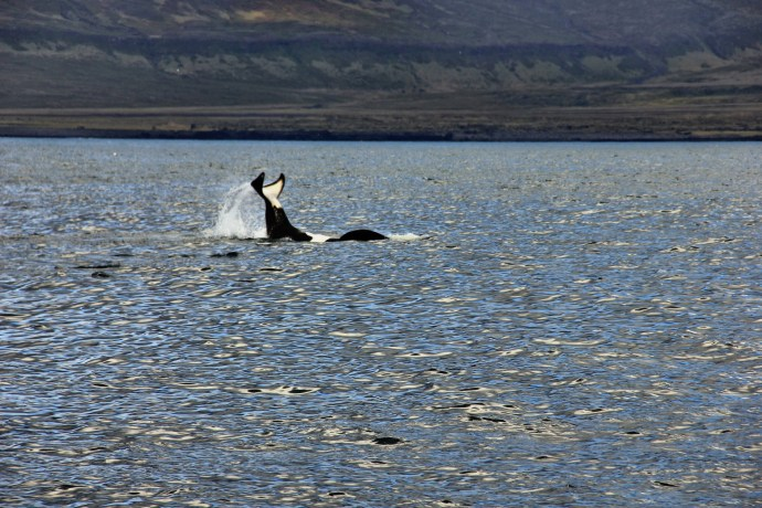 Killer Whale doing the backflip