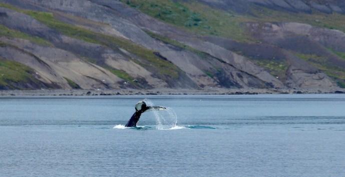 Whale in Hornstrandir
