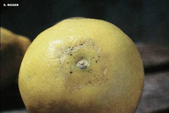 Prays citri