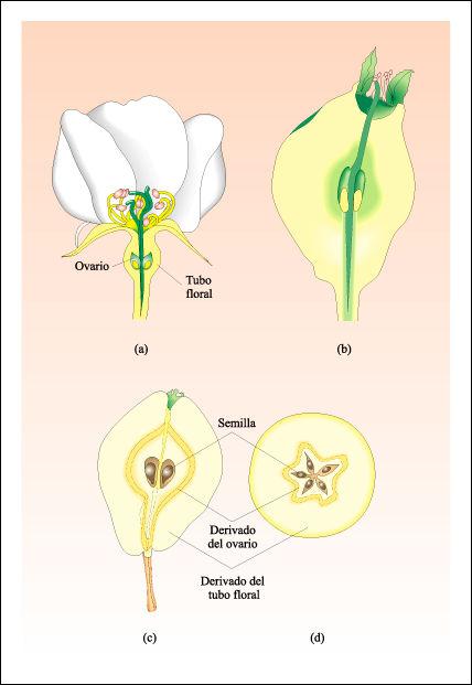 Las partes de la planta. El fruto y su clasificación