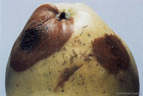 Sphaeropsis malorum