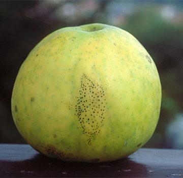 Leptothyrium pomi