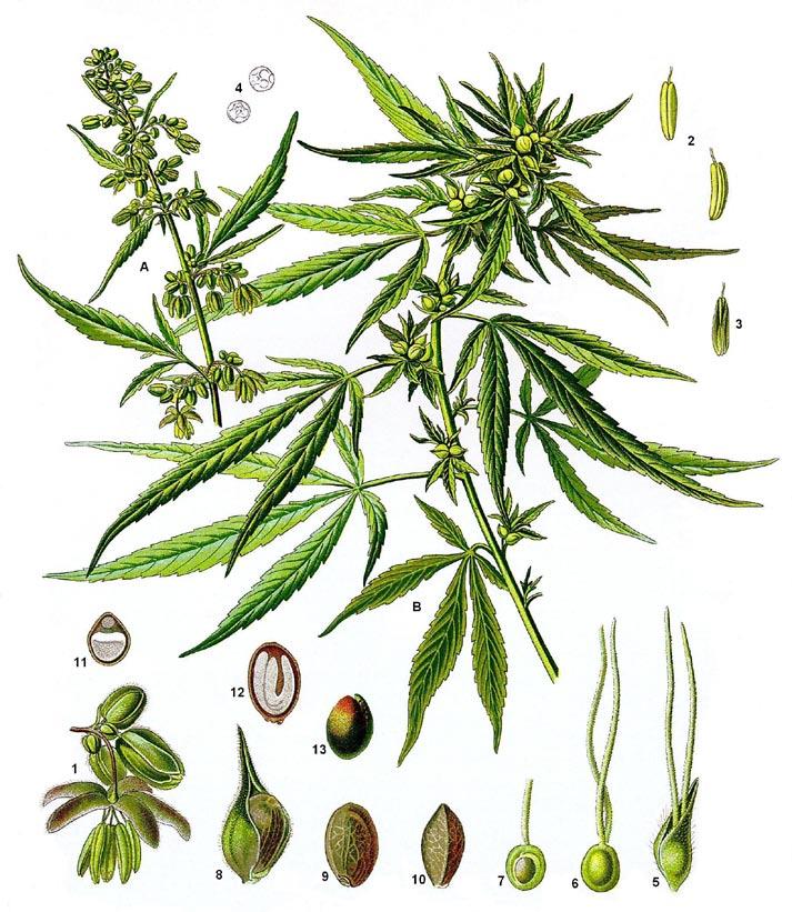 Descripcion de la planta Cannabis Sativa