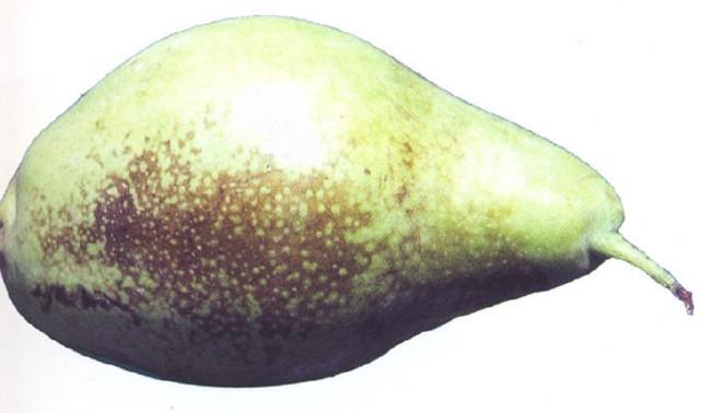 Escaldado Reticular Manzana Pera