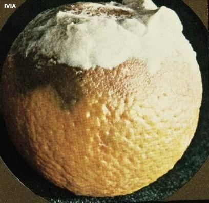 Botritis cinerea citricos