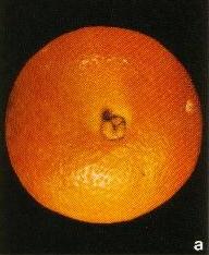 alternaria citri en citricos