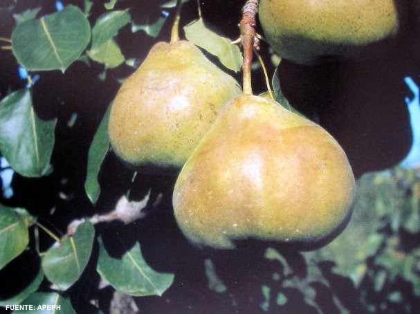Variedad de pera Roma