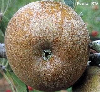Conservacion de Manzanas Reinetas