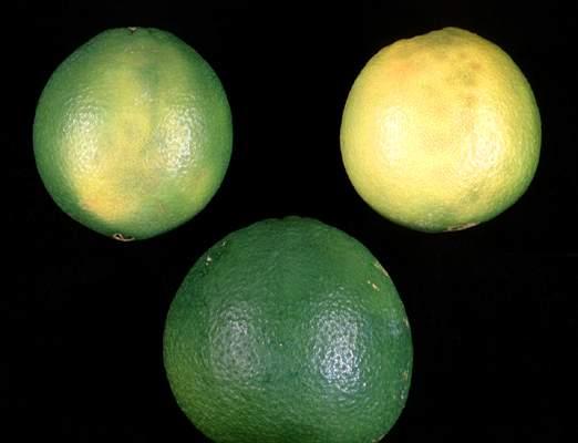 Impietratura de los citricos o manchas de los citricos