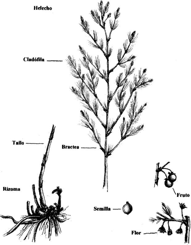 Tallo y helecho de una planta de espárrago, con flores, frutos y semillas