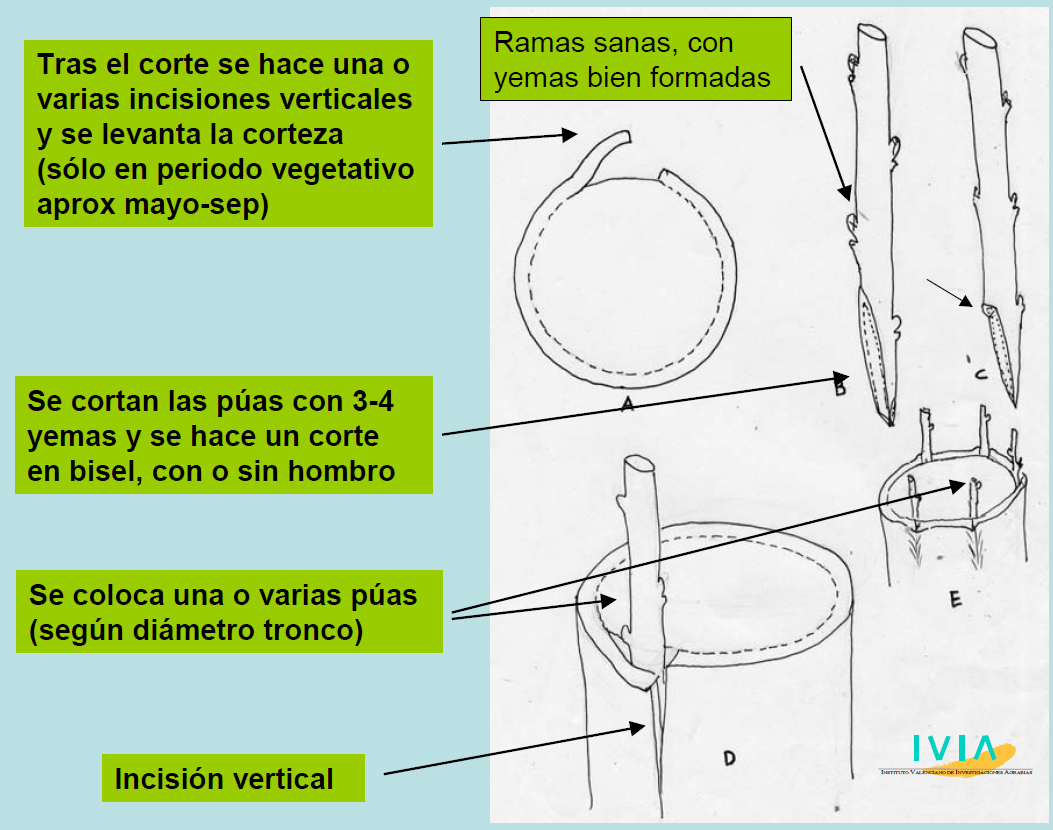 Fisiología de los cítricos