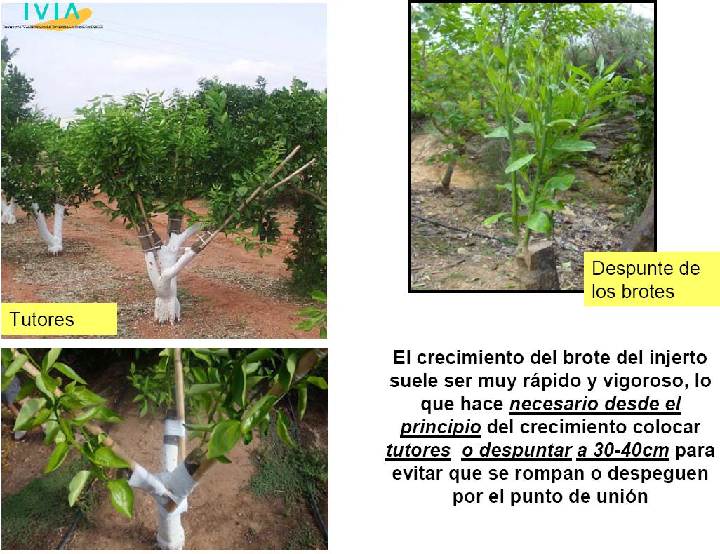El injerto de citricos en campo for Caracteristicas del vivero
