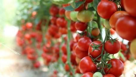 Fertilización con compost de vacuno en producción de tomate de ...
