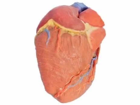 MP1700 Modelo Humano de corazón impreso en 3D marca Erler Zimmer