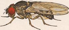 """Moscas com 6 prêmios nobel, """"moscas"""" se destacam na ciência moderna"""