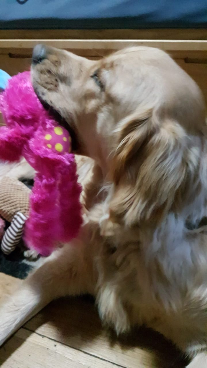 Sideways on shot of Teddy's head, looking slightly upwards to the left side of shot, with a bright pink fluffy monster toy in his mourh