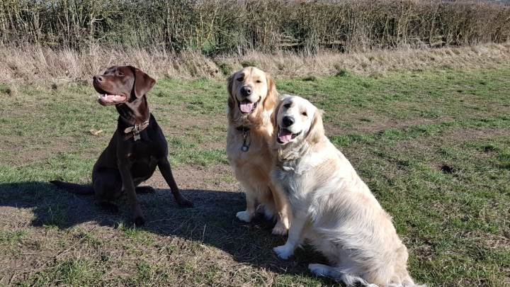 L to R - Lionel (choc lab) looking to his right side, Teddy and Lilly (Golden Retrievers) both smiling at the camera. All 3 dogs are sitting on grass with a hedge behind them